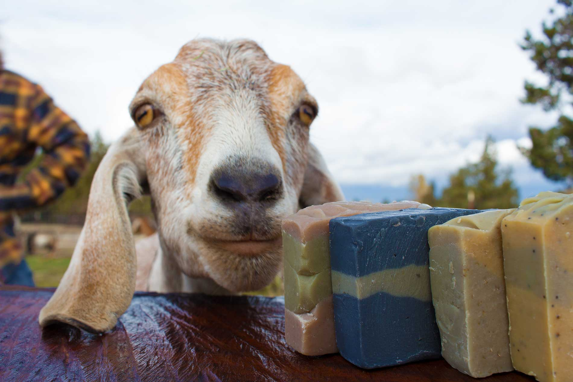 Want to Learn How to Make Goat Milk Soap?